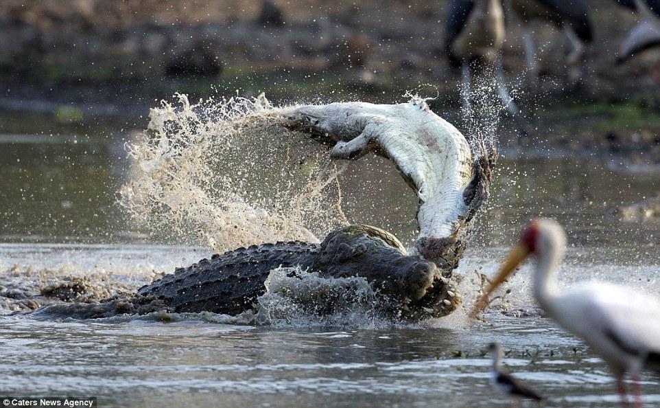 Cận cảnh cá sấu khổng lồ nuốt chửng đồng loại chỉ trong vài phút 2