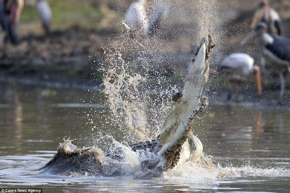 Cận cảnh cá sấu khổng lồ nuốt chửng đồng loại chỉ trong vài phút 3