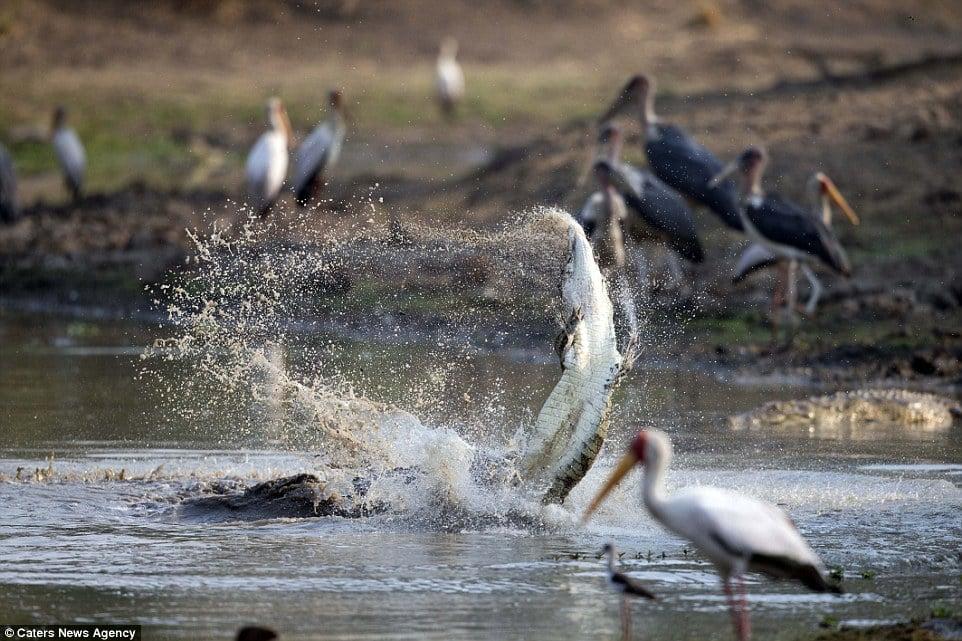 Cận cảnh cá sấu khổng lồ nuốt chửng đồng loại chỉ trong vài phút 4
