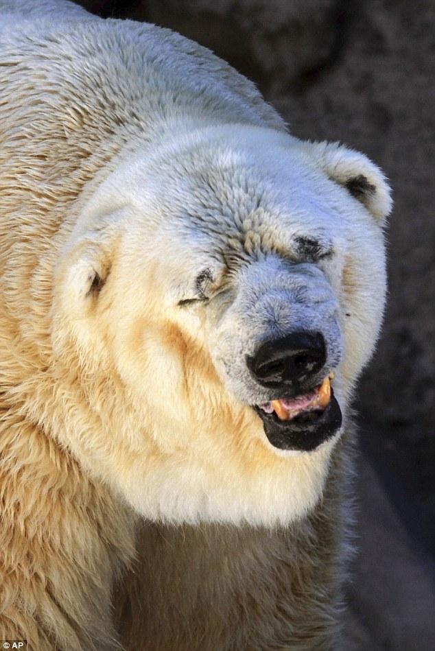 Gấu bắc cực 'buồn nhất thế giới' qua đời tại vườn thú  1