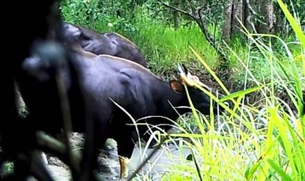 Quay được cảnh đàn bò tót 4 con ở Đắk Lắk 1