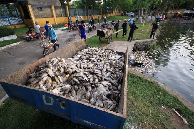 Hàng trăm tấn cá chết xếp lớp dưới hồ công viên trung tâm Đà Nẵng 3