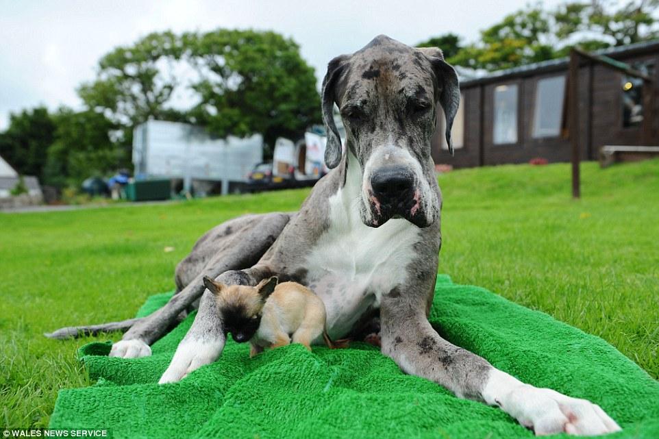 Cuộc gặp thú vị giữa chú chó cao nhất thế giới với chú chó nhỏ nhất nước Anh 5