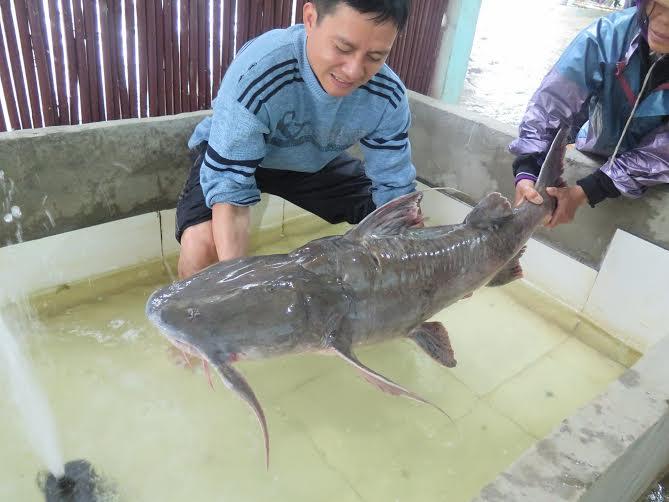 """Nhà hàng Hà Nội đón """"thủy quái"""" Me Kong nặng 100kg, giá 70 triệu 3"""