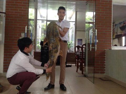 """Nhà hàng Hà Nội đón """"thủy quái"""" Me Kong nặng 100kg, giá 70 triệu 4"""