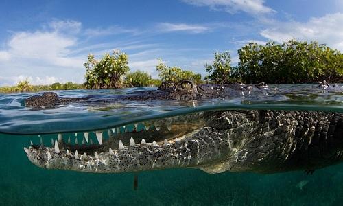 Video cô gái thản nhiên bơi cùng cá sấu dài 2,5m  5
