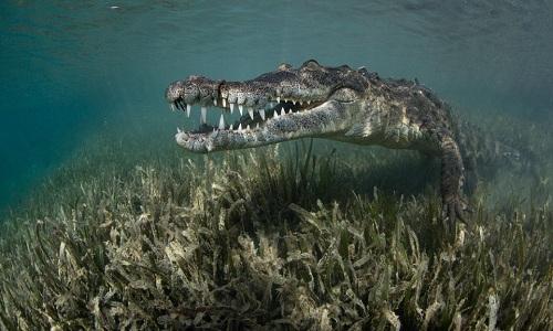 Video cô gái thản nhiên bơi cùng cá sấu dài 2,5m  6