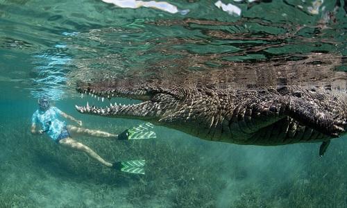 Video cô gái thản nhiên bơi cùng cá sấu dài 2,5m  7