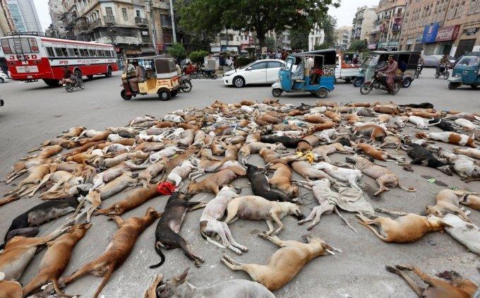 Xác chó hoang bị đầu độc phủ kín đường ở Pakistan gây phẫn nộ 1