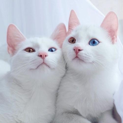 Cặp mèo song sinh có mắt hai màu khiến dân mạng