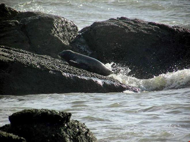 Cặp đôi hải cẩu xám bất ngờ xuất hiện ở biển Bình Thuận 1