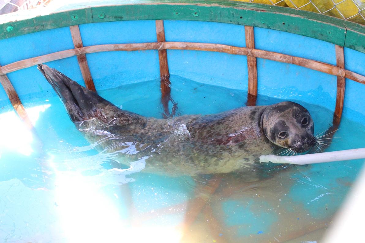 Bắt được hải cẩu ở Quảng Nam, ngư dân đòi