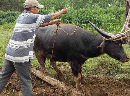 Trâu hoang tấn công người sa bẫy thợ săn được bán đấu giá 23 triệu 1