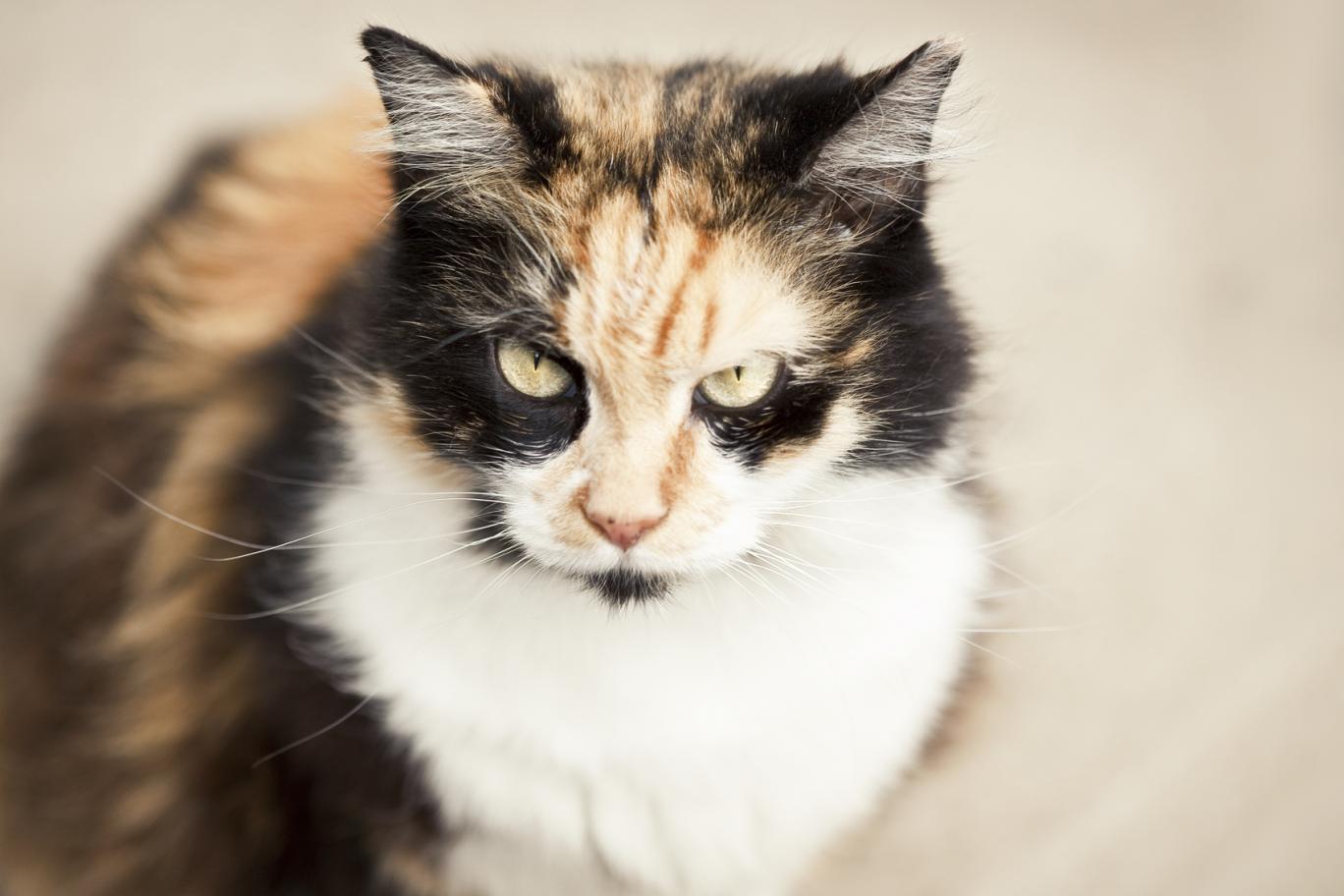 Mèo sẽ trở nên hung dữ bất thường nếu quá sợ hãi. Ảnh: Independent