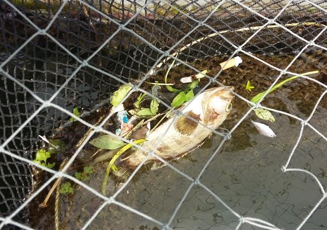 Cá chết bất thường ở Thanh Hóa do hiện tượng tảo nở hoa? 1