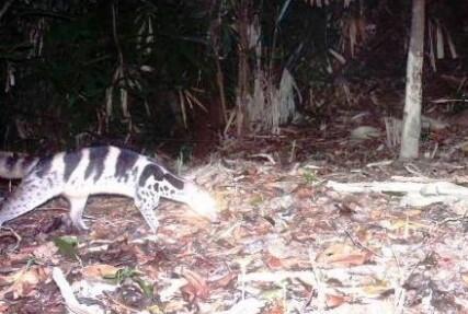 Phát hiện loài cầy giông sọc bị coi tuyệt chủng ở Huế 1