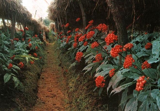Nhà giàu Trung Quốc vung tiền mua sâm rừng Mỹ 1.800 USD/kg. 1