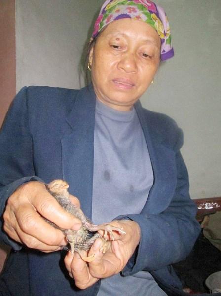 Nghệ An: Xuất hiện gà 4 chân kỳ lạ 2