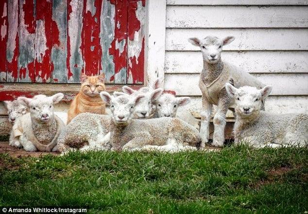 Mèo bất ngờ nổi tiếng nhờ tài chăn cừu 1