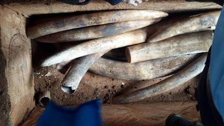 Hàng tấn ngà voi giấu trong ruột gỗ nhập từ châu Phi về Sài Gòn 1