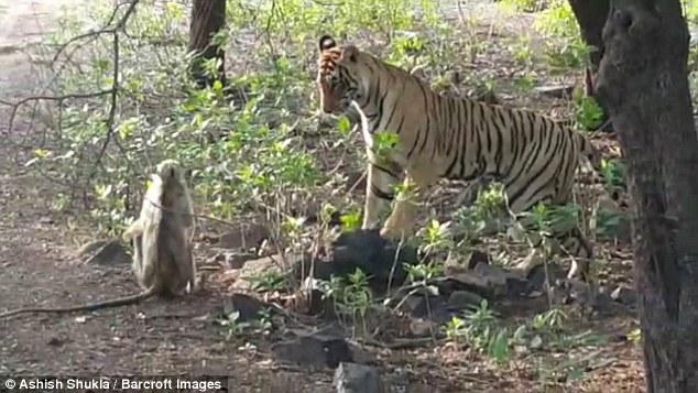 Video: Khỉ con điên cuồng quyết chiến với hổ dữ thoát thân ngoạn mục 1