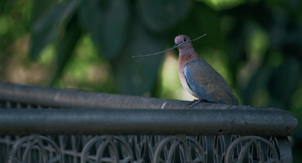 Bắt giữ hơn 150 con chim bồ câu bị tình nghi là gián điệp 1