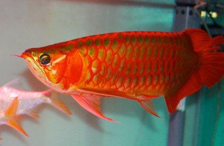 Loài cá đột biến 9 tỷ đồng đắt hơn cả siêu xe 3