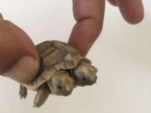 Rùa 2 đầu cực hiếm tại Iran 1