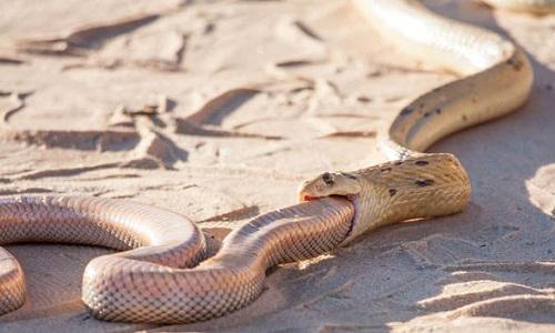 Cận cảnh rắn hổ mang đói nuốt chửng đồng loại 2