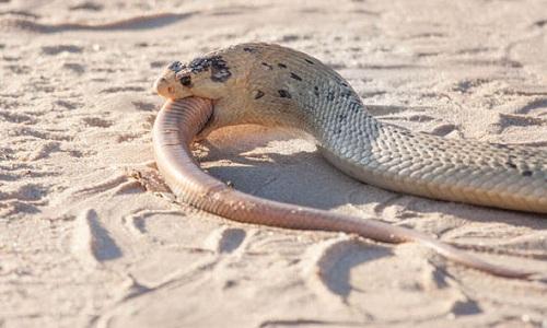 Cận cảnh rắn hổ mang đói nuốt chửng đồng loại 4