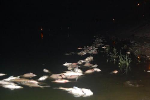 Hà Nội: Cá chết hàng loạt dạt vào bờ dài cả 2km ở hồ Linh Đàm 2
