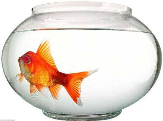 Câu chuyện hy hữu về chú cá được phẫu thuật não - George 1