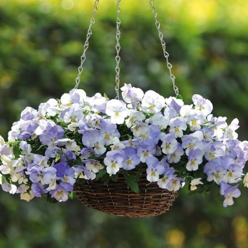 Mong manh như cánh bướm với những giỏ hoa Pansy tự trồng 2