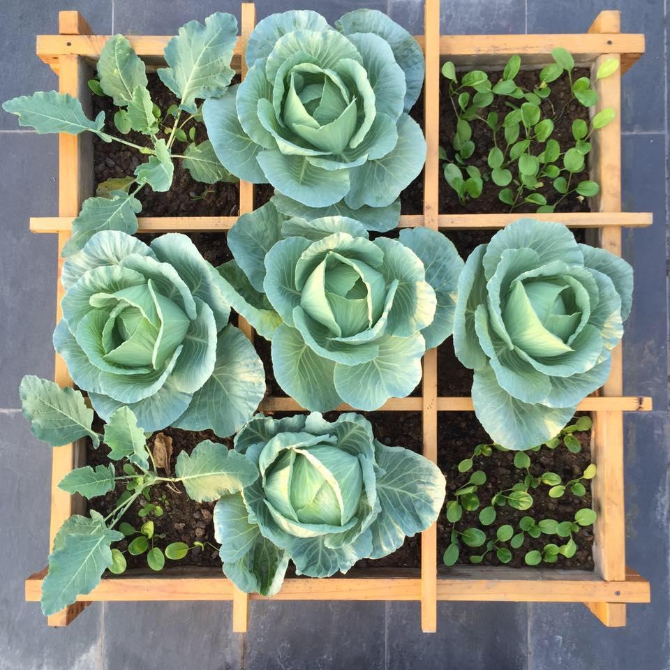 Phương pháp tự trồng bắp cải trên sân thượng đảm bảo ra cây 1