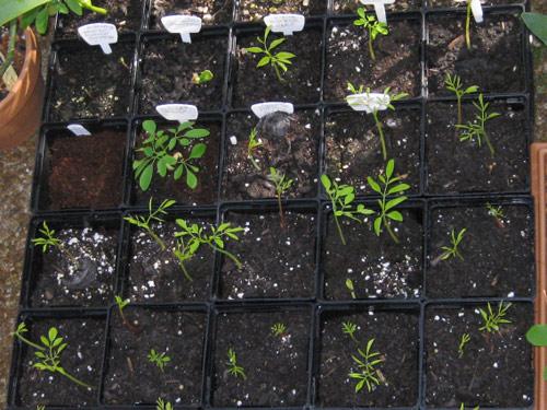 Hướng dẫn 3 phương pháp tự trồng cây chùm ngây quý giá tại nhà 4