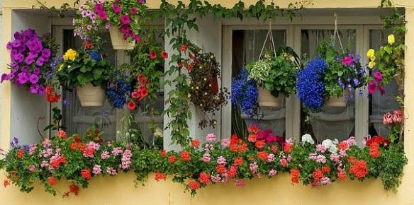 Cách trồng hoa phong lữ thảo cho ban công dịu dàng quanh năm 3