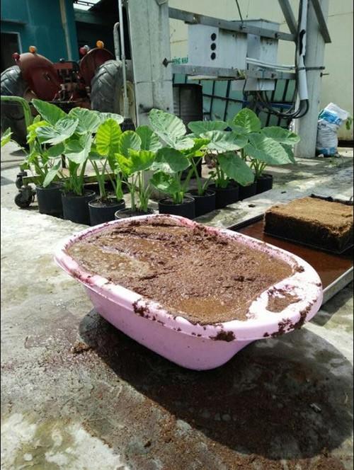 Vườn rau tươi mơn mởn trồng bằng xơ dừa của 8X Sài thành 1