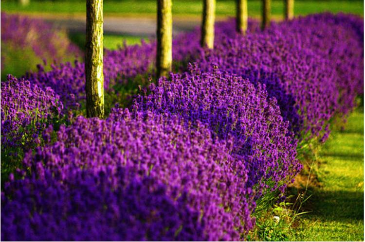 Mẹo nhỏ để tự trồng hoa oải hương tại nhà bằng hạt giống 1