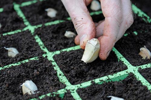 Bội thu với cách trồng tỏi trong thùng xốp siêu năng suất 4