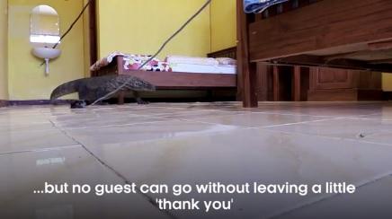 Video: Rồng Komodo khổng lồ nấp dưới gầm giường khách sạn 1