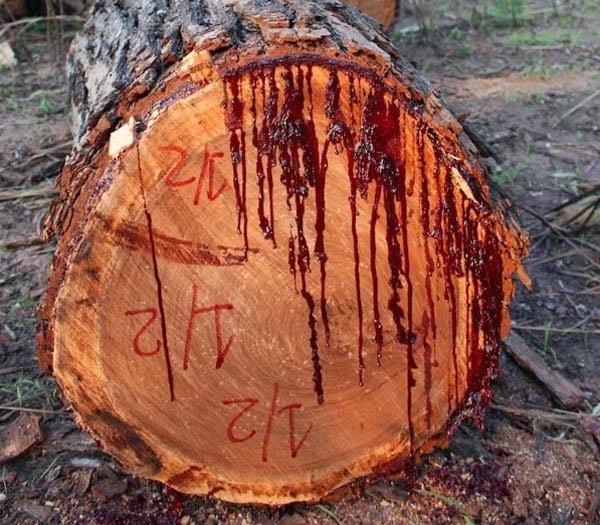 Kỳ lạ loài cây chảy máu như con người 2