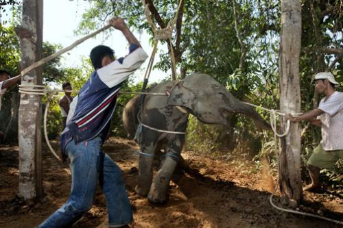 Video: Màn tra tấn thuần hóa voi dã man bằng sắt nóng gây phẫn nộ 1