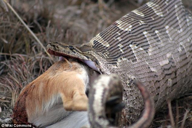Dân làng mổ bụng rắn