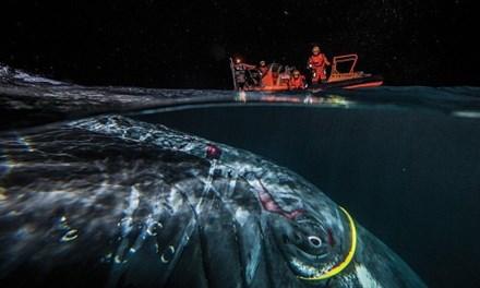 Giải cứu cá voi lưng gù 30 tấn bị vướng vào dây cáp mạng 2