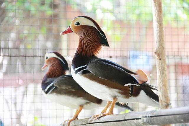 """Quà biếu Tết: chim trĩ 7 màu 20 triệu/cặp """"hút hồn"""" đại gia Việt 4"""