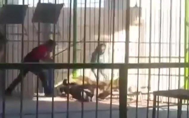 Nam huấn luyện viên bị sư tử cắn tử vong khi đang biểu diễn 3