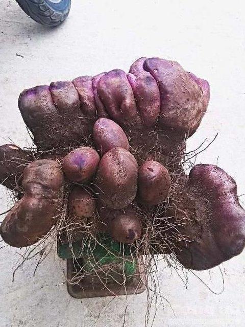 Đào được củ khoai tím nặng 21kg, có hình dáng như nải chuối 2 tầng 2