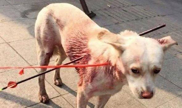 Chú chó sống sót dù bị hai mũi tên xuyên người gây