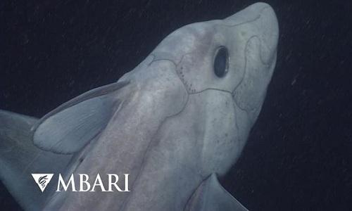 Cá mập ma lần đầu được phát hiện ở độ sâu 2.000m 1
