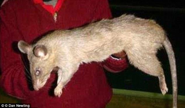 Bé gái 3 tháng tuổi tử vong vì chuột lớn tấn công 1